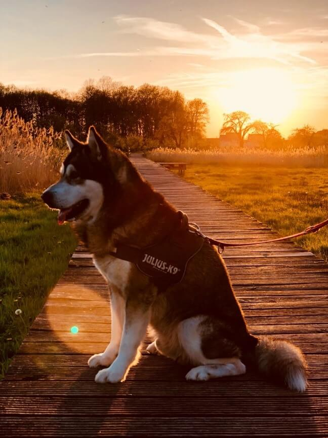 A dog being taken for a walk at sunset